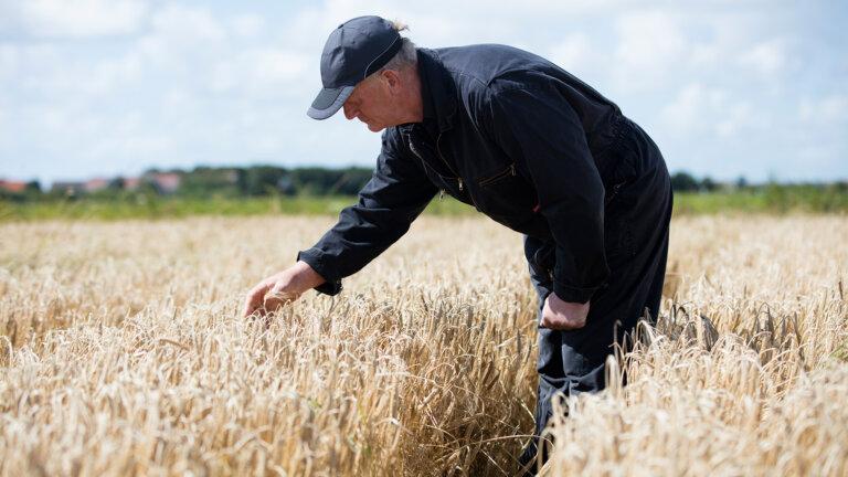 Boer in tarwe op Texels